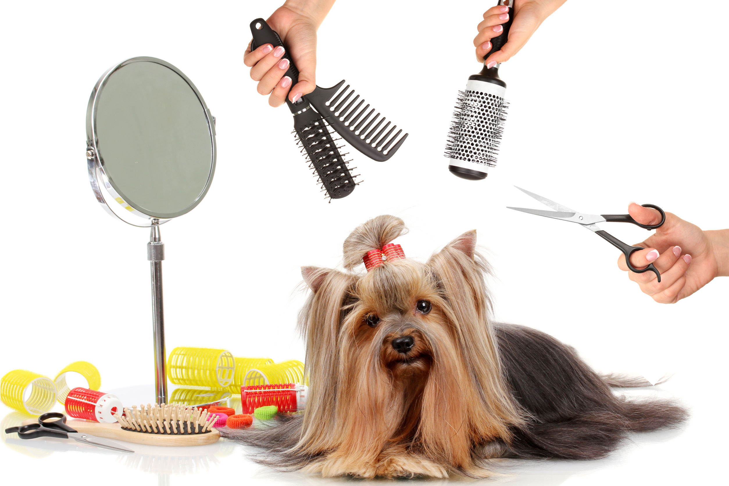 35385290 - yorkshire terrier grooming at the salon for dogs