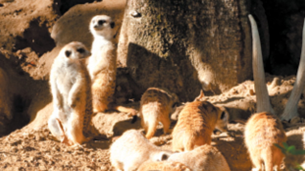 Meerkat exhibit at San Diego Zoo, Edwards Air Force Base Southern California and Beyond